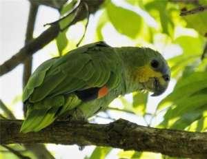 橙翅亚马逊鹦鹉怎么饲养?